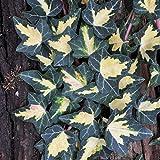 Unbekannt Kölle Gewöhnlicher gelbbunter Efeu (Hedera Helix 'Goldheart') im 2 l Topf