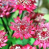 30pcs Haupt Astrantia Samen Blume Große Sterndolde Bonsai Blumen Pflanzen Samen Topf Topfpflanze für Haus-Garten-Dekoration ***