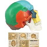 Modelo de Cráneo Humano Coloreado, Modelo Anatómico de 3 Piezas a Tamaño Real con Plantilla a Color del Cráneo Humano para Es