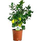 12cm Citrus Lemon - 1 Plant - House/Office Live Indoor Pot Plant Tree Potted