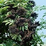 Schwarzer Holunder weiß blühend und schwarzen Früchten
