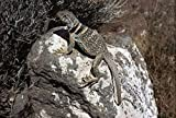 The Poster Corp Larry Minden - Collared Lizard Sunning
