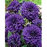 Dahlia Blue/Dahlia Blue - bulbo/tubérculo/raíz