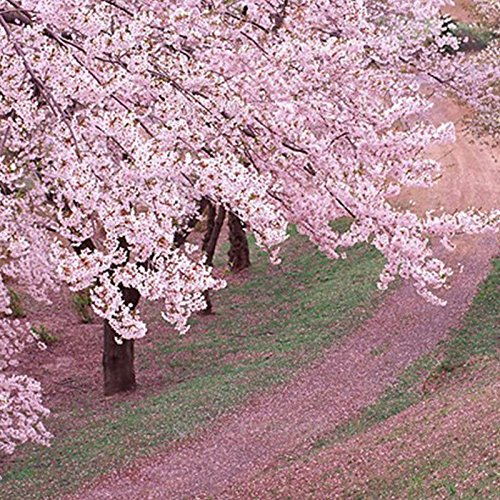 Hot vente 10 pcs graines de sakura japonais cerise oriental graines de fleurs des plantes Bonsai pour la maison et le jardin