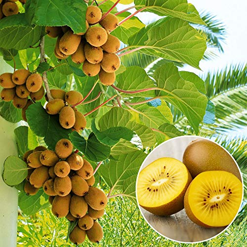 Qulista Samenhaus - 50pcs BIO Kiwi-Apfel-Orange Saatfgut Baum Säulen-Obst-Raritäten-Kollektion Obst Samen exotisch mehrjährig winterhart für kleine Gärten, Balkone & Terrassen - Terrasse Kollektion