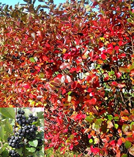Schwarze Apfelbeere Aronia, frosthart
