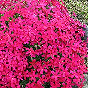 polster phlox rot garten. Black Bedroom Furniture Sets. Home Design Ideas