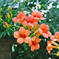 Trompetenblume Mme Galen, 1 Pflanze von Amazon.de Pflanzenservice - Du und dein Garten