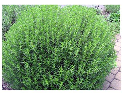 Lot de 100 petites graines herbes aromatiques à faire pousser sarriette communes poivre graines a semer