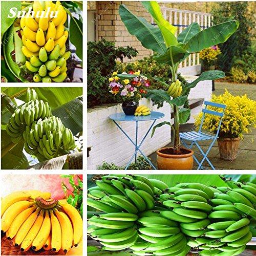 Livraison gratuite 100 Pcs Mini Banana Graines Tropical Fruits Graines exotiques rares Bonsai Banana Plante en pot Décoration Maison et jardin