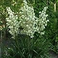 Yucca filamentosa 40-60 cm 4 l Co. von VDG-KL-Baumschule bei Du und dein Garten