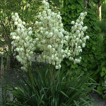 Yucca filamentosa 40-60 cm 4 l Co.