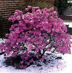 Vorfrühlingsalpenrose violett-blau blühend. 1 Strauch im 3