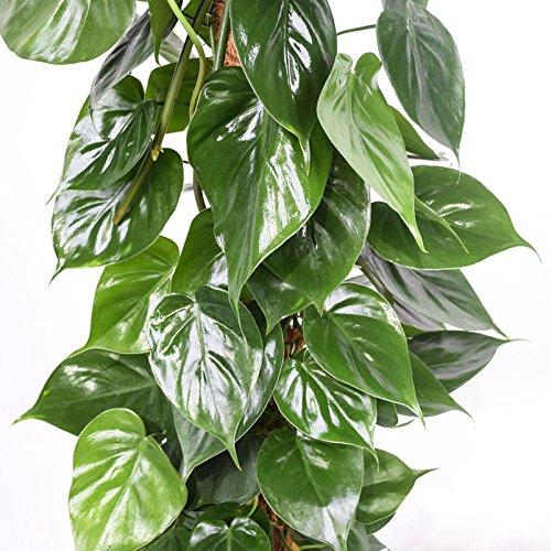 Baumfreund am Moosstab - Philodendron scandens Säule - ca. 150 cm hoch - 27 cm Kulturtopf - erstklassige Pflanzenqualität vom Fachgärtner -