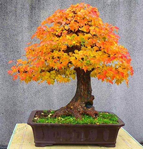 Bloom Green Co. Japanischer Red Maple Bonsai-Baum Günstige Garten, Profi-Pack, 53 Stk/Pack, sehr schönes Innenhaupt Baum: 9 -