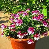Wekold Geranie Blume - 20 Samen Nizza Entzückende Blume Duftende Samen Duftende Blüten Geranium Seeds