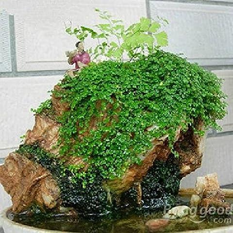 PhilMat Follaje rocalla planta de decoración de semillas de la hierba de los bonsais�