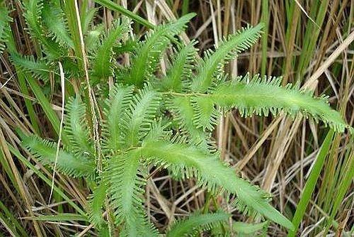 Lygodium flexuosum - Kletter-Farn - 100 Samen