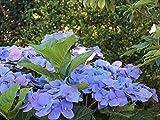 Bauernhortensie 'Blaumeise' - Hydrangea macrophylla Blaumeise - Containerware 30-40 cm - Garten von Ehren