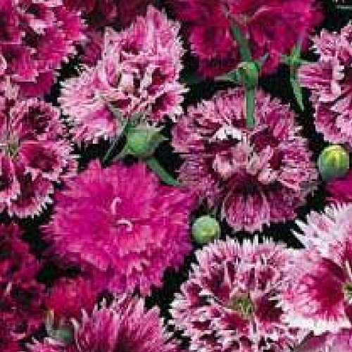 SeeKay Dianthus chinensis Double Mix - indian Pinks - Appx 900 seeds - Annual