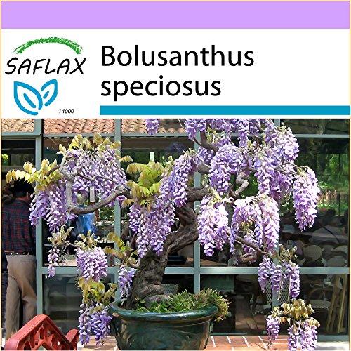 SAFLAX - Bonsai - Afrikanischer Blauregen - 15 Samen - Bolusanthus speciosus