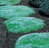 TOMASA Seedhouse- 100 pezzi di semi di muschio groundcover erbe pianta stella miscela ornamentale piante di erba perenne semi di erba decorativa per balcone, giardino