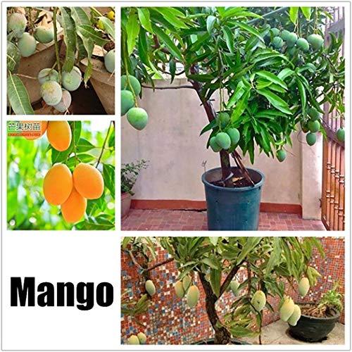 swiftt 2 Stücke Obstsamen Mango Samen Mini Bonsai Hausgarten Obst Bäume Outdoor Obst Samen für Garten Pflanzen