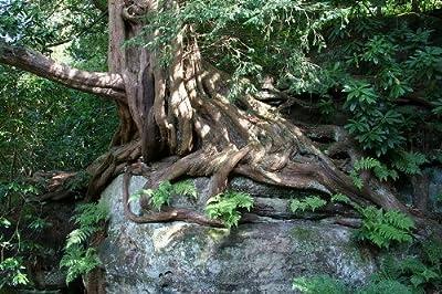 Eibe 20 Samen -Taxus baccata- (Heimischer Baum - Winterhart) Auch Bonsai geeignet von Samenchilishop - Du und dein Garten
