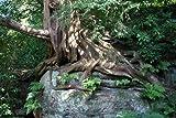 Eibe (Taxus baccata) 150 Samen (Heimischer Baum - Winterhart) Selten Rar >Auch Bonsai geeignet<
