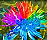 Keland Garten - großblütig Regenbogen Chrysantheme Samen Selten winterhart mehrjährig fürs Beet, Topf, Kasten, Terrassenschmuck (100)