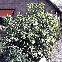 Dominik Blumen und Pflanzen 5 Pflanzen Irischer Efeu