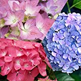 Dominik Blumen und Pflanzen, Garten-Hortensien-Set, bestehend aus je einer Pflanze in rot, rosa oder blau blühend, 3-4 triebig, 10 - 30 cm hoch, 1,5 Liter Container, plus 1 Paar Handschuhe gratis