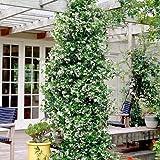 2 Toscan Jasmin (Sternjasmin) - Weisse Sternjasminblüten, Immergrün und Winterhart - 1,5 Liter Topfen   ClematisOnline Kletterpflanzen & Blumen
