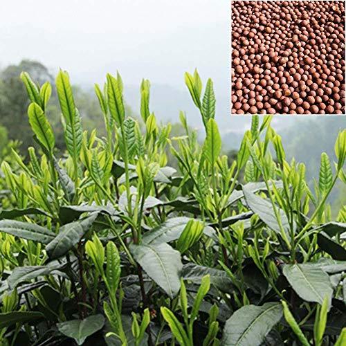 Portal Cool 10 Pcs Green Tea Seeds Rare Fresh Plants DIY Garden Planting
