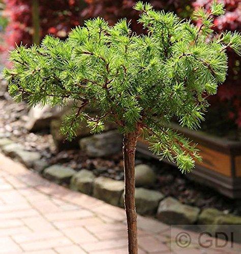 Hochstamm Europäische Lärche Bogle 40-60cm - Larix decidua
