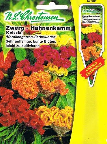 Zwerg Hahnenkamm 'Korallengarten- Farbwunder' sehr auffällige, bunte Blüten, leicht zu kultivieren ( mit Stecketikett) ' Celosia argentea'