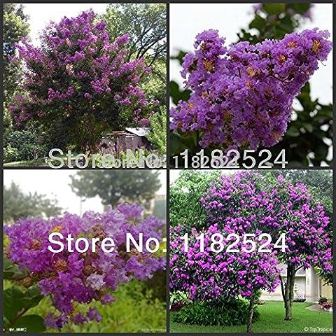 100+ GRAINES Violet Lagerstroemia indica Crape Myrtle Tree Seeds bonsaï fleurs Graines