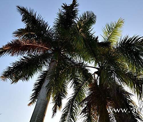 FERRY Bio-Saatgut Nicht nur Pflanzen: Uncle CHAN * 400 Samen Roystonea regia, Roy Uhr Stunn große frische tragfähige C439