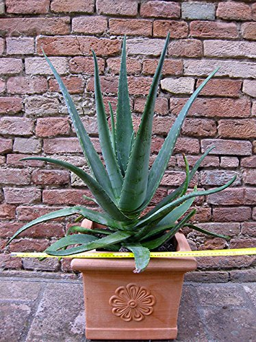 Aloe vera 70 cm + vaso in resina, cactus, pianta grassa - Piante Radice Nuda