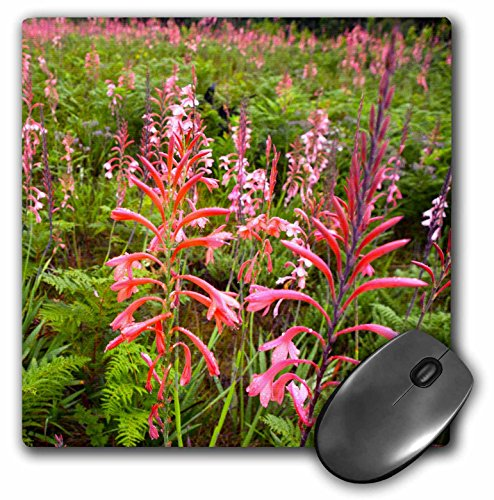 danita-delimont-flowers-bugle-lily-watsonia-flower-eastern-cape-south-africa-mousepad-mp-207760-1