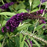 Sommerflieder, Buddleia 'Black Knight 60-80 cm 5 L Co.