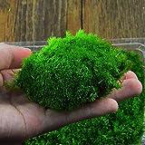 Inovey DIY Mirco Landscape Moss Plant Natural Wild Leucobryum Bowringii Glass Bottle Decorations