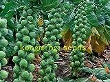 200 semillas de col de Bruselas Machuga orgánicos de la herencia Vegetable Seeds para plantas de jardín en casa Little Baby Coles Semillas