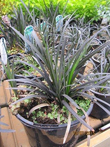 Ophiopogon planiscarpus Niger - Schwarzblättriger Schlangenbart Niger