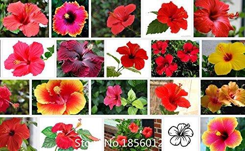 100 Riesen-Hibiskus-Samen Blumensamen Hardy, Mix Farbe, DIY Haus Garten vergossen oder Hof Blumensamen Pflanze, Bonsai