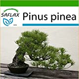 SAFLAX - Pino marittimo - 6 semi - Con substrato - Pinus pinea