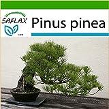 SAFLAX - Bonsai - Mittelmeer-Pinie - 6 Samen - Mit Substrat - Pinus pinea