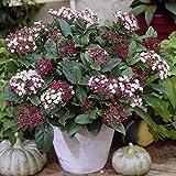 Dominik Blumen und Pflanzen, Mittelmeer-Winterschneeball, Viburnum tinus,  weißbraun blühend, 1 Strauch, 30 - 40 cm hoch, 3 Liter Container, plus 1 Paar Handschuhe gratis
