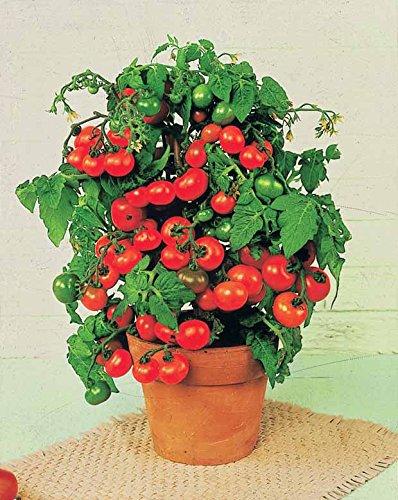 tomate-cerise-tiny-tim
