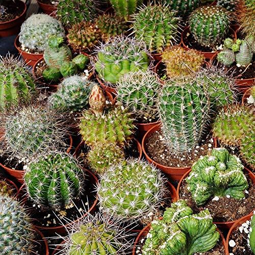 Sukkulenten Kaktus Pflanzensamen Hausgarten Dekoration 1000stk